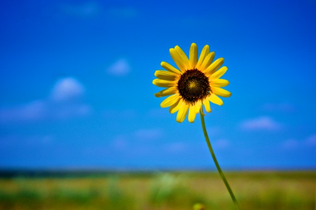 yellow-sunflower-under-blue-sky